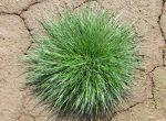Ryegrass, Lolium perenne