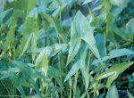 Sagittaria sagittifolia 'Plena'