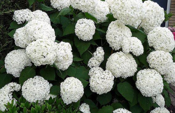 Hydrangea arborescens 'Annabell