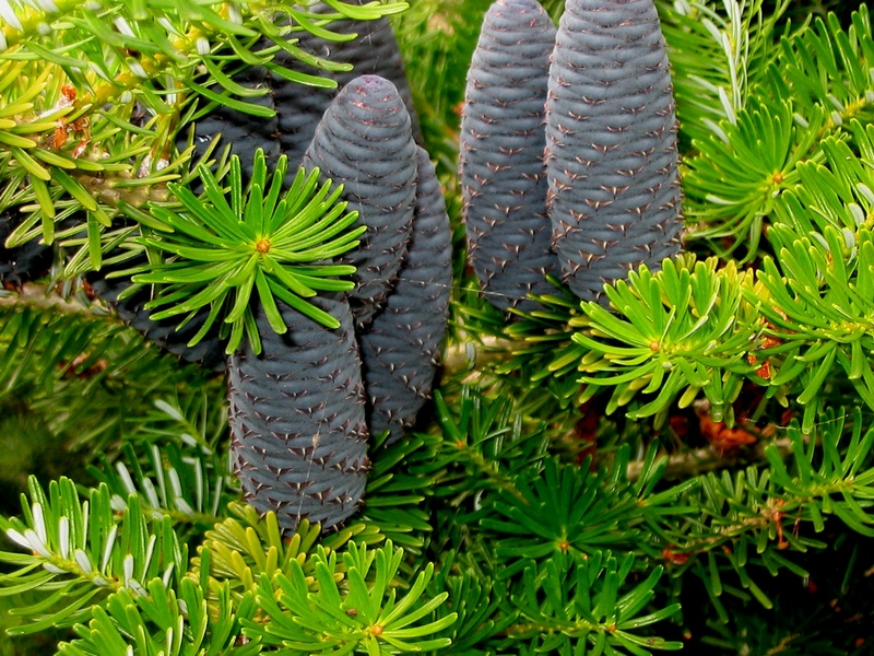 Abies nordmanniana related keywords amp suggestions abies nordmanniana