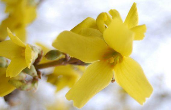 Forsythia europaea