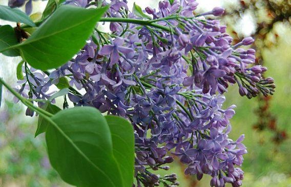 Сирень обыкновенная 'Wedgwood Blue