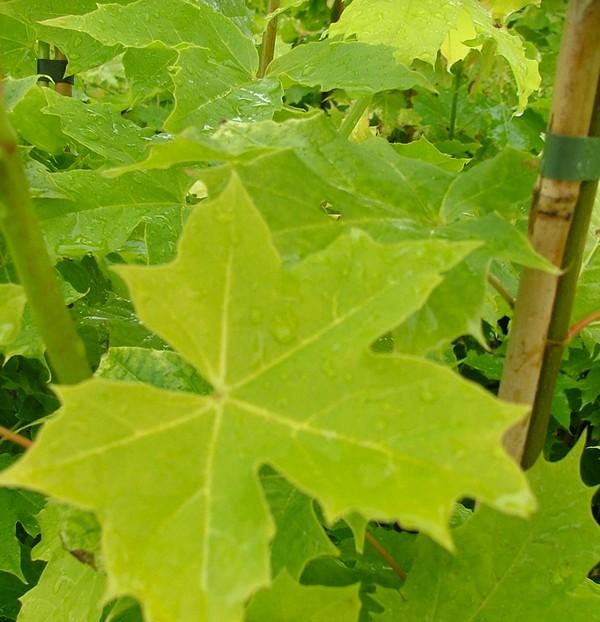 Комнатные растения по алфавиту названия и фото  Буква А