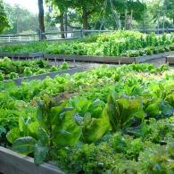 зеленные культуры в огороде