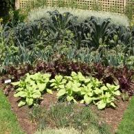 миксбордер из овощных растений