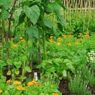 овощи с однолетними цветами