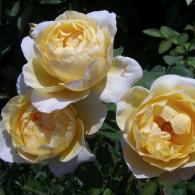 rose-Charlotte