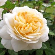rose-Crocus-Rose