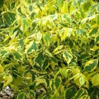 Acer-negundo-Aureovariegatum