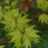 Acer_palmatum,_Shigitatsu_sawa
