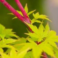 Acer_palmatum_Coral_Bark_Japanese_Maple_Coral_Bark