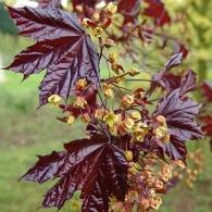 -acer-platanoides-crimson-king-maple-1