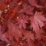 norway-maple-crimson-king-tree-acer-platanoides-crimson-king-339
