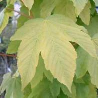 Acer-pseudoplatanus-Worleei