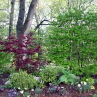 Acer pseudosieboldianum Acer palmatum 'Emperor 1' SW06