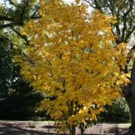 Acer-tegmentosum-