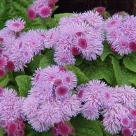 агератум пурпурно-розовый
