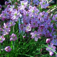 3002206008_d14d0785f7_Allium virgunculae F.Maek