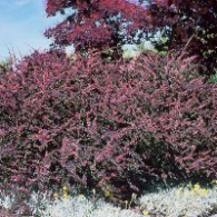 barberry-rosy-glow-