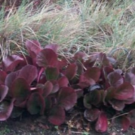 Bergenia, Winter Begonia with Grasses