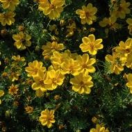 Биденс 'Yellow Sunshine'