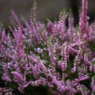 true or Scotch heather, or Calluna vulgaris