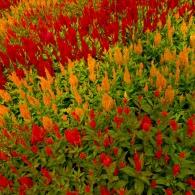 целозия в цветнике