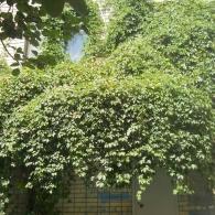 девичий виноград декорирует навес над входом