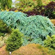 миксбордер из хвойных растений