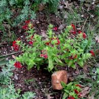 Cuphea-purpurea