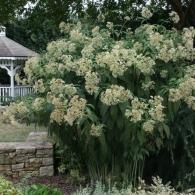 Eupatorium maculatum 'Bartered Bride'