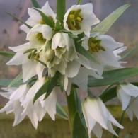 Fritillaria-bucharica