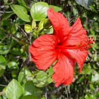 Гибискус садовый (китайская роза)