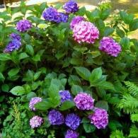 Hydrangea macrophylla 'Nikko Blue'_foto