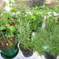 пряный сад на подоконнике