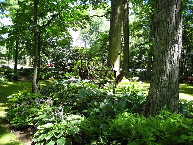 Хосты в саду фото видео