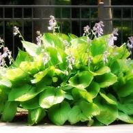 цветок хоста фото