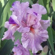 Bearded Iris