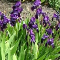 Монопосадка фиолетовых ирисов