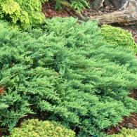 juniperus-sabina-tamariscifolia