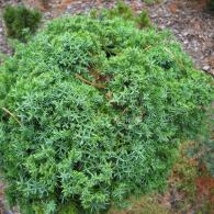 juniperus_cineses_echiniformis