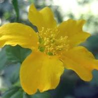 Цветок керрии японской