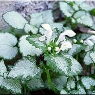 Lamium maculatum cvs. White Nancy