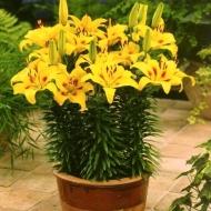 Жёлтые лилии в плотной посадке