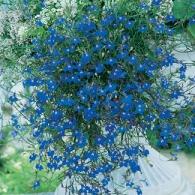 Lobelia Trailing Blue