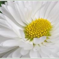 Маргаритка с полумахровой формы цветка