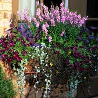 Ангелония 'Serena Lavender', калибрахоа, дихондра 'Silver Falls', сеткреазия и ирезине 'Purple Lady'