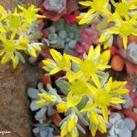 sedum_spathulifolium