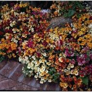 Немезия в окантовке цветника
