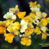 Немезия гибр. 'Serengeti Yellow'